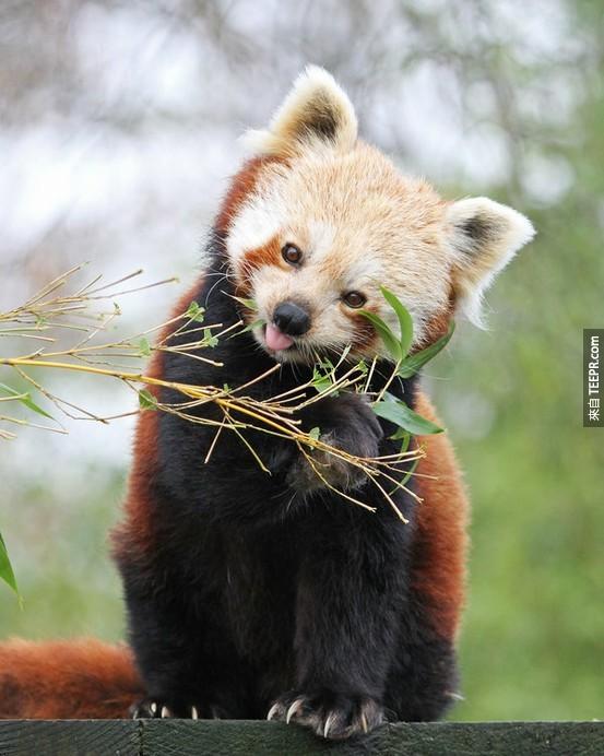 眼尖的你有沒有發現紅熊貓很喜歡點頭呢?那是因為紅熊貓很常透過肢體語言來溝通,像是輕點頭與伸展尾巴。