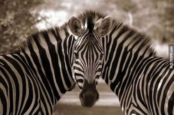 23.) 這照片中有幾匹斑馬?