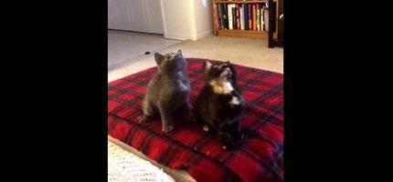 這兩隻小貓咪跟的音樂做的事情會讓你不敢相信自己的眼睛。這讓我好想養貓!