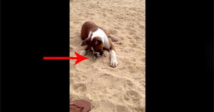 這隻小拳師犬第一次吃到萊姆。他的反應到讓我看得好樂!
