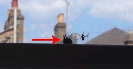 這個人在拍攝一隻蜜蜂被蜘蛛網纏住時湊巧捕捉到一段很不可思議的片段。