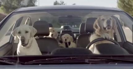 這隻黃金獵犬停在紅燈的時候看到一隻美麗的貴賓犬,結果被老婆抓個正著!