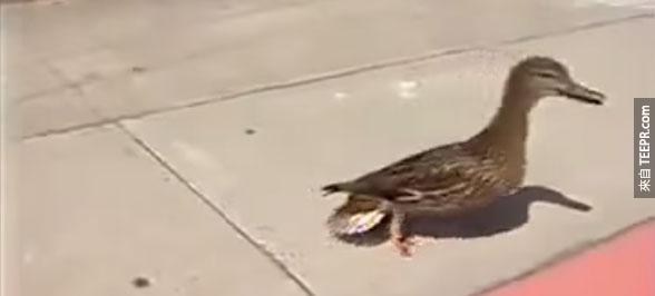 這隻鴨子著急的不停地在人行道上呱呱叫。她想要溝通的急事真的太可愛了!
