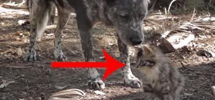 這隻狗狗和殘障貓咪之間的友情就是愛的證明。他們之間的互動真的太驚奇了!