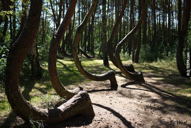 12. 千真萬確,這些在波蘭的樹木就是長這樣。