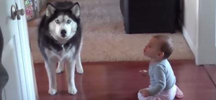 聽說哈士奇不是很聰明的狗種,但是這支模仿小Baby的影片完全推翻那個說法。