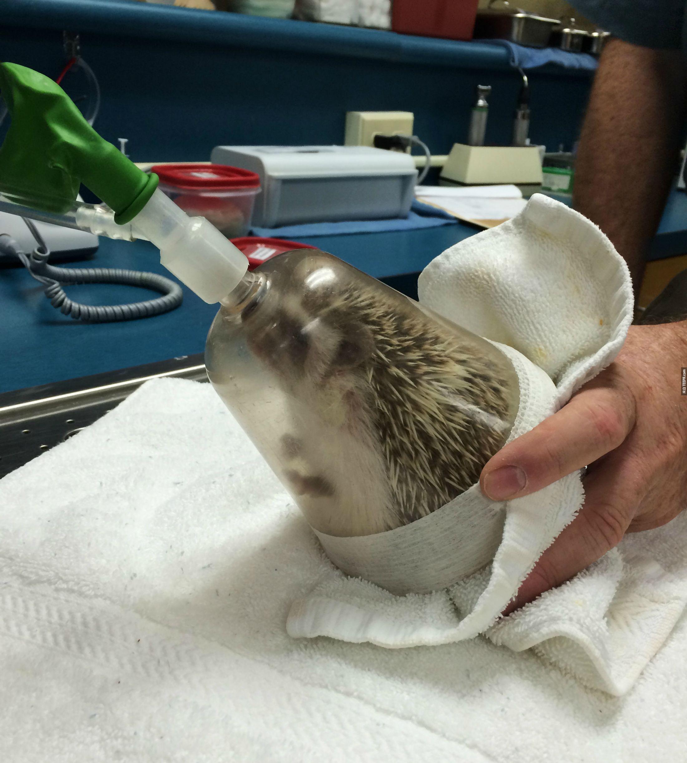 這個人一開始還不知道獸醫要如何麻醉他的小刺蝟。當看到的時候...OMG 這會是你看過最可愛的畫面。