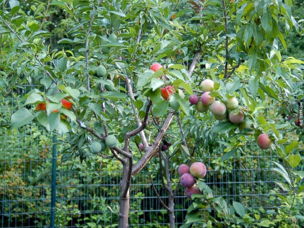 這就是發明者的故事:有一天Sam Van Aken在附近的超級市場裡找不到他要的水果,因為當地的果類太少了。