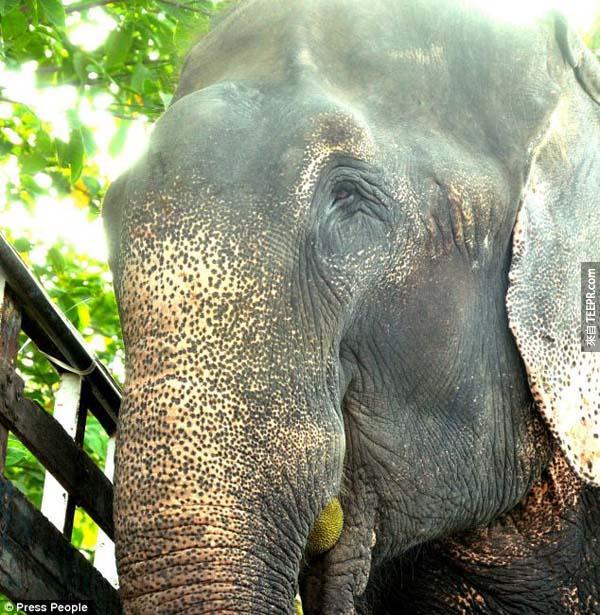 這頭大象被囚禁並且虐待了50年。在他被解救後,他做出令人難以置信的舉動。