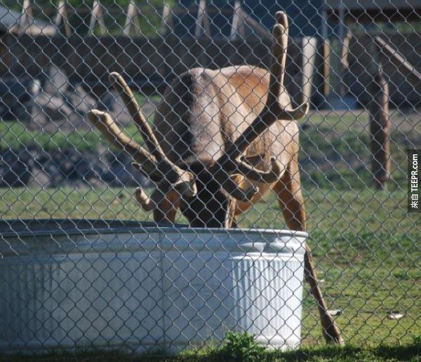 這頭麋鹿做的事情讓所有動物院裡的人都很困惑,但是當他的頭伸出來的時候,他們都大吃一驚!