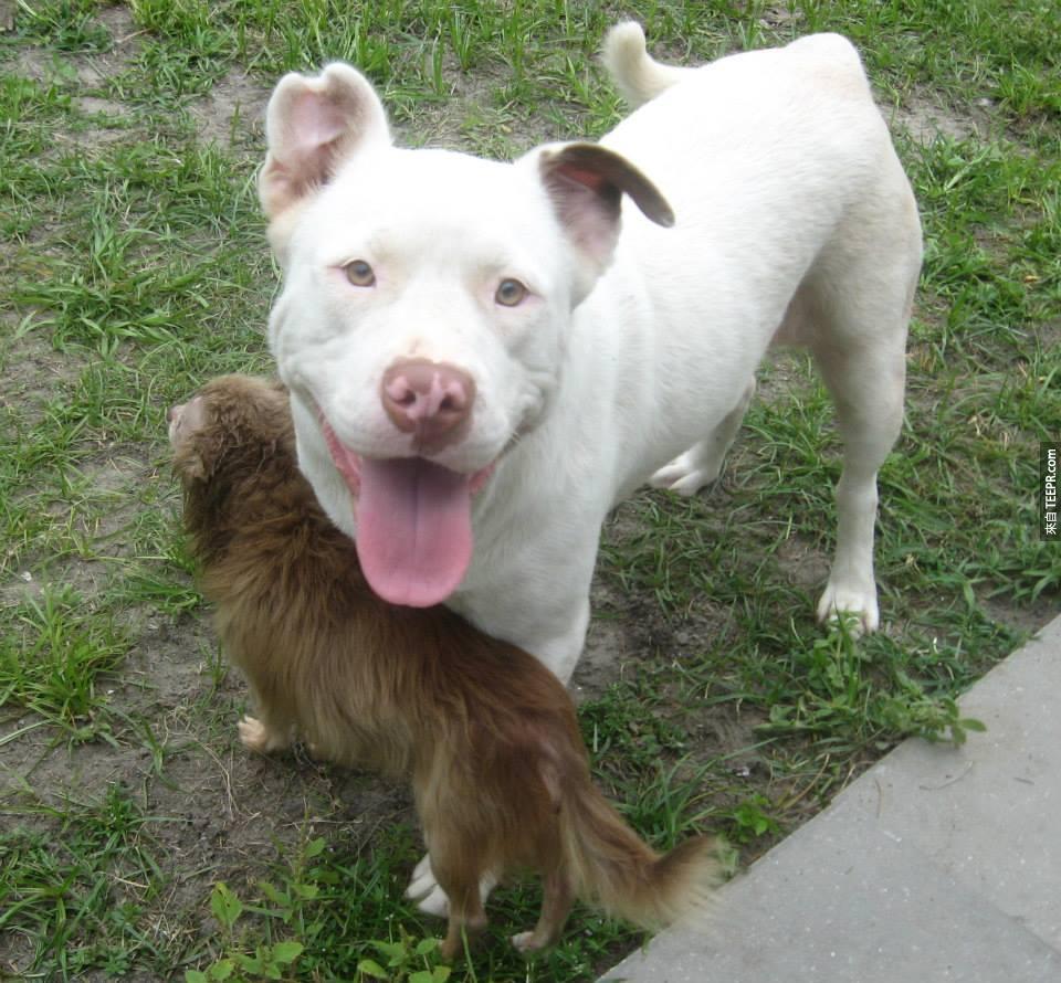 當找到這隻比特犬的時候,她的嘴巴裡咬著一隻吉娃娃。他們之間的故事好感人!