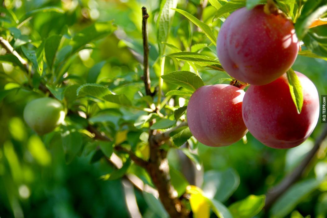 利用他之前學會的移植術,他開始把一些核果類的水果基因改造成一棵超級水果樹。