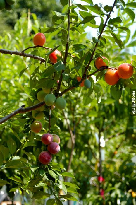 Sam focused on stone fruits since there are so many varieties and they're all genetically similar enough to graft, and thus his Tree of 40 Fruit was born. He has since used the orchard to grow the initial trees, and then moves them to other locations for buyers.