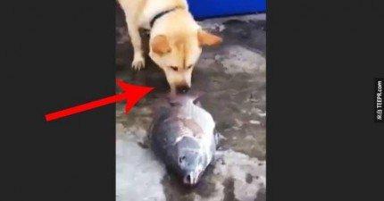 這隻狗用他唯一知道的方法搶救這些魚。狗的思維真的超乎我們的想像。