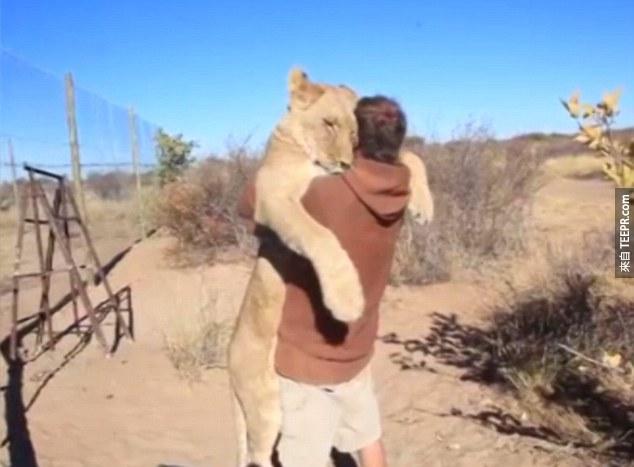 這隻超大隻的母獅子不知道自己很大隻,直接撲上去!