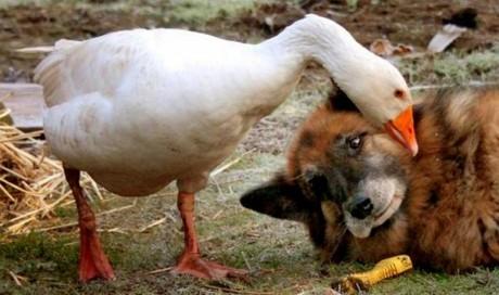 這隻具有攻擊性的狗本來已經被判死刑了,但是這隻鵝卻改變了一切。