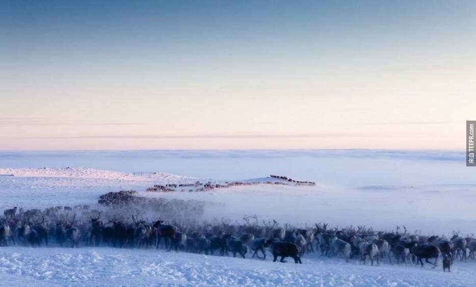 薩米人(Saami)的馴鹿遷徙:北極圈挪威(Norway)。