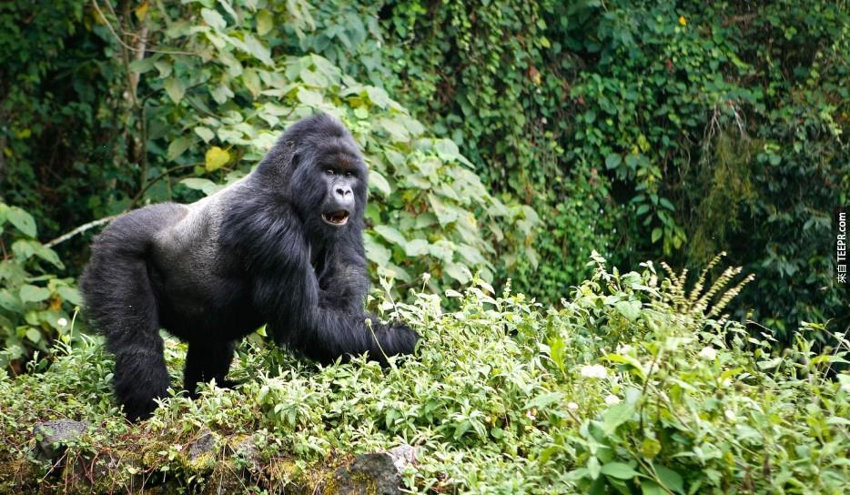 大猩猩之旅:烏干達(Uganda)和盧安達(Rwanda)。