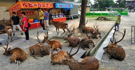 當你的城市被一群小鹿斑比霸佔的時候,這就是你每天會看到的景象。