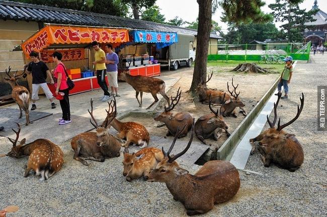 當地民間傳說,這些鹿是在1,300年前由建御雷神明帶來到這座城市的。
