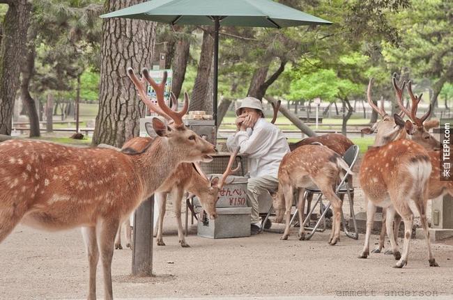 一直到1637年,殺害奈良的鹿是死罪一條。