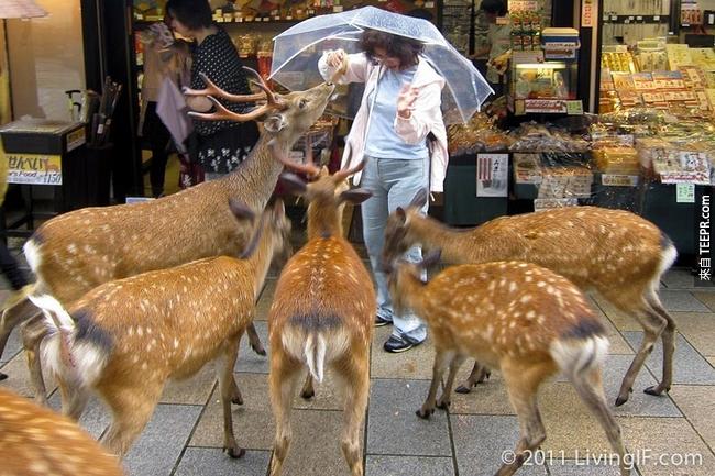 這些鹿大多會在公園棲息,不過有些也會漫步到當地的店家。