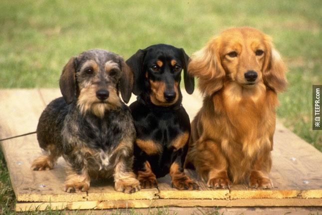 11. 他們每胎可以生4到8隻小狗。