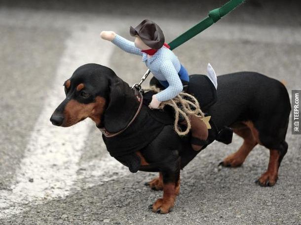 10. 臘腸狗(Dachshund)是德文的「獾犬」的意思,就是指他們曾經是獵獾的獵人。