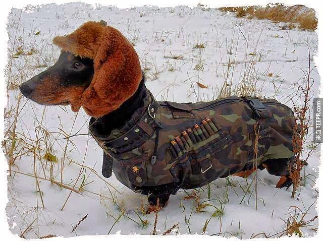7. 每4隻臘腸狗就有1隻有脊椎的問題。