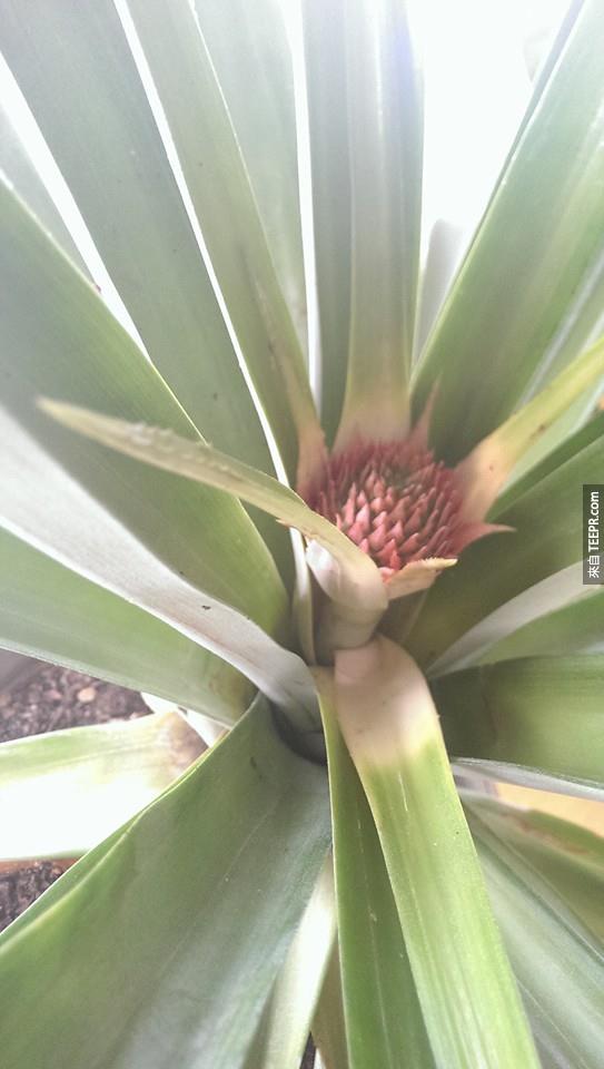 他的朋友都覺得他拿一顆鳳梨做的事情太異想天開了。但是過了3年後...太棒了啊!