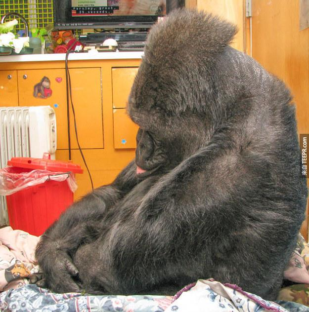 """""""Koko became very somber, with her head bowed and her lip quivering."""""""