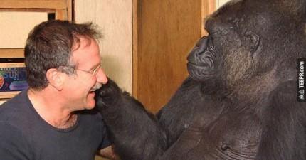 這隻黑猩猩Koko聽到羅賓威廉斯去世的消息後,表現出令人難以置信的悲傷。太感人了!
