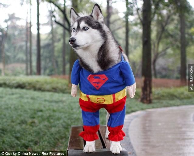 這隻哈士奇終於知道自己的身份了,他要當一位拯救世界的超級英雄!