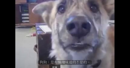 當這個主人言語上用食物誘惑狗狗時,狗兒會說出會讓你噴飯的話。