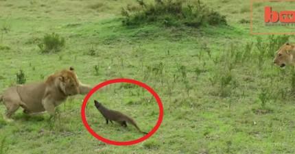 這隻小貓鼬居然成功抵擋4隻獅子的攻擊。他的行為讓我學到人生的大道理。