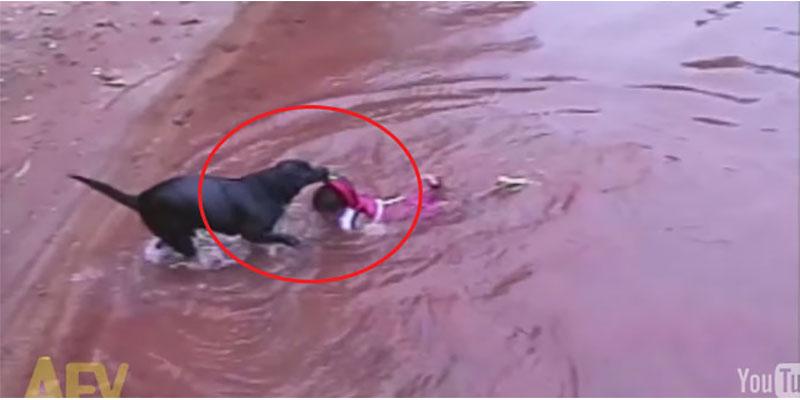 這隻黑狗誤認以為在水裡玩水的小朋友在溺水。接下來的救援讓我一邊感動,一邊笑翻。