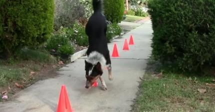 如果有人跟你說狗不聰明的話,這支影片一定會改變他的看法。