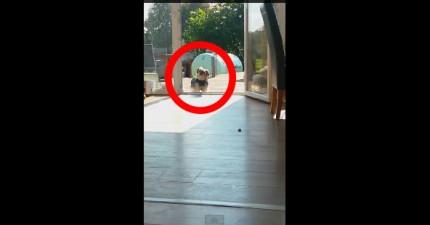 這隻狗狗誤以為前面有一扇透明門,進不了屋子讓他很著急。結果一定要去幫他開門才行!