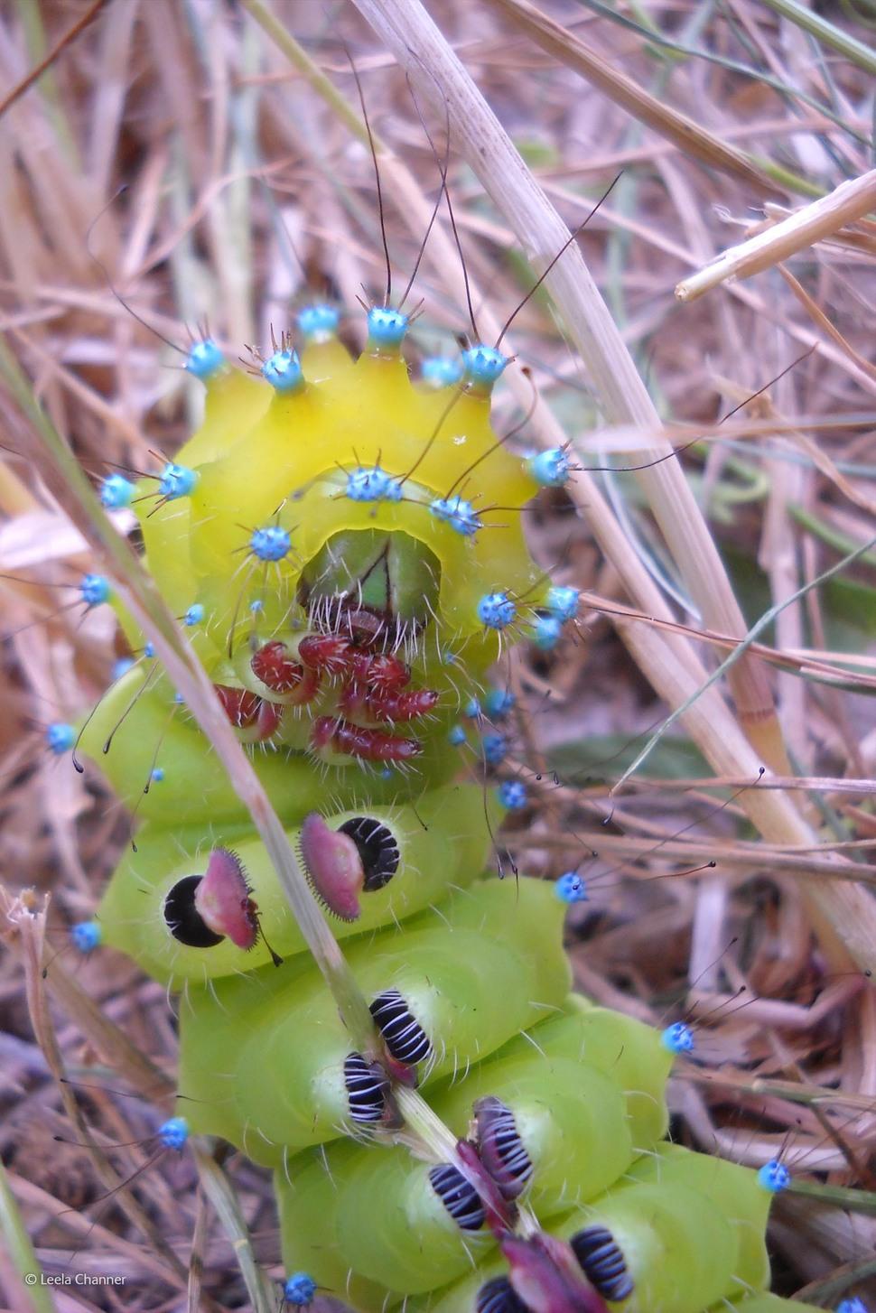 「巨型孔雀蛾幼蟲」(攝影: Leela Channer)