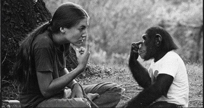 在聽到她的飼養員流產後,黑猩猩流露出只有人類才有的情緒。