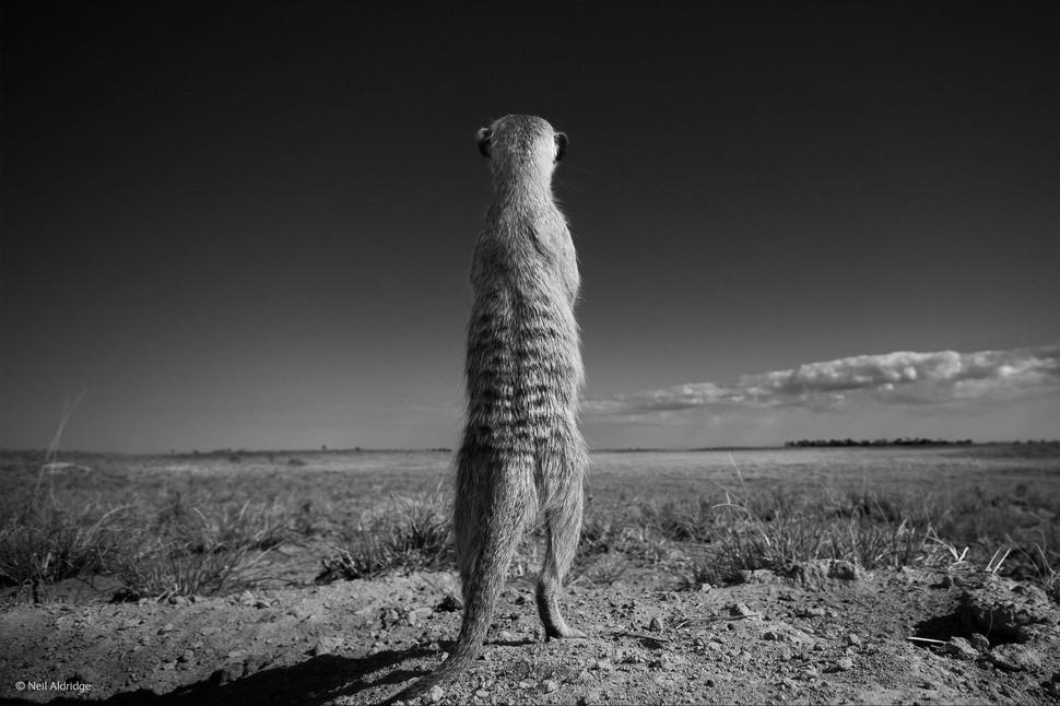 「站衛兵」(攝影: Neil Aldridge)
