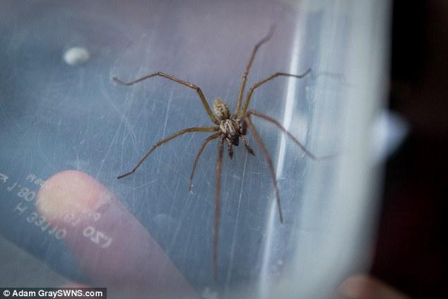 劇毒蜘蛛凶殘入侵民宅!被咬到的人皮膚會壞死、甚至喪失記憶。