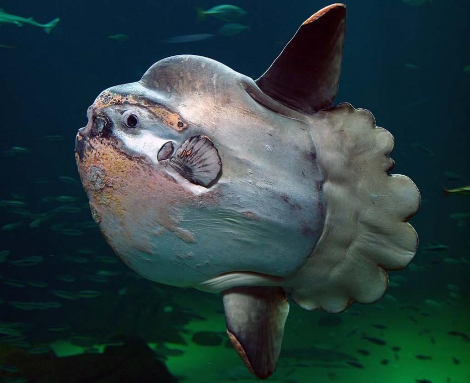 翻車魚(Mola Mola)