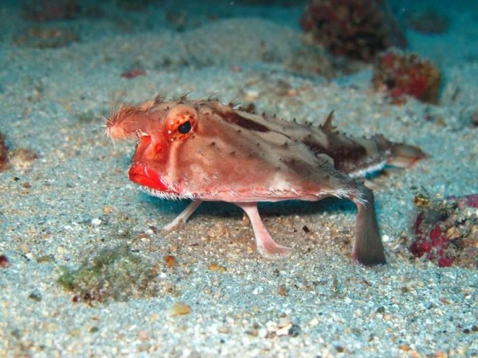 紅唇蝙蝠魚(Red-Lipped Batfish)