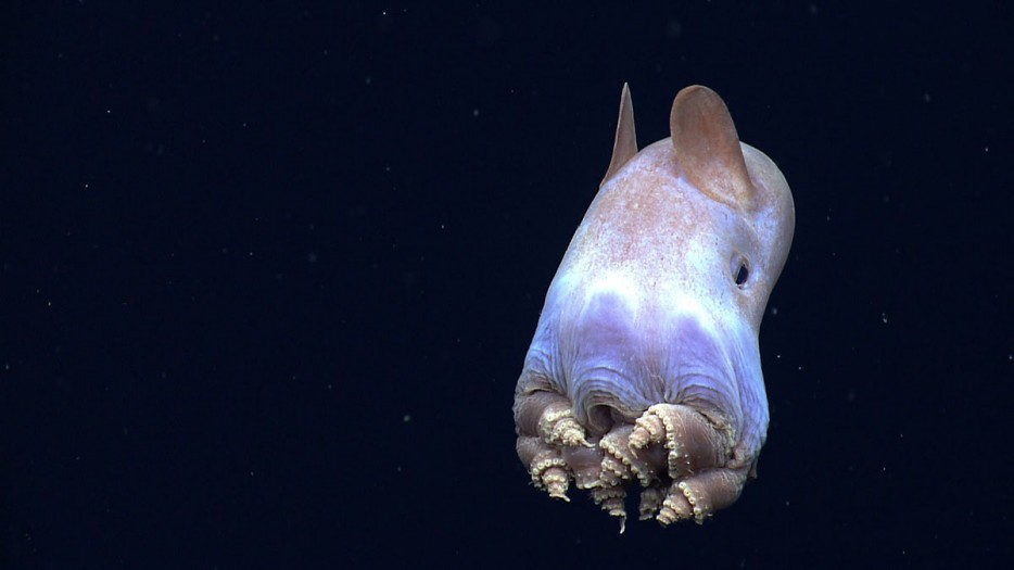 小飛象章魚(Dumbo Octopus)
