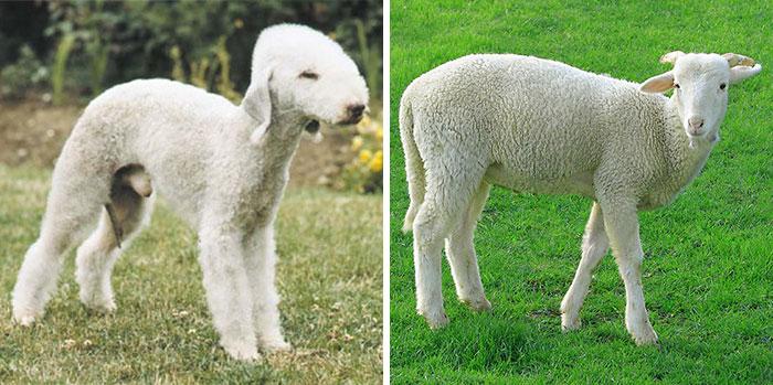 9. 貝德靈頓狗是真的很像綿羊啊!