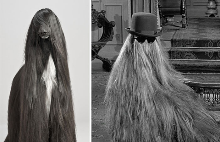Dog That Looks Like Cousin Itt From 'the Addams'