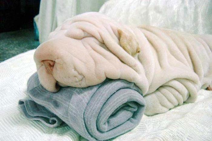 6. 洗好澡拿個毛巾擦身體,啊呀,是你啊,小沙皮狗。