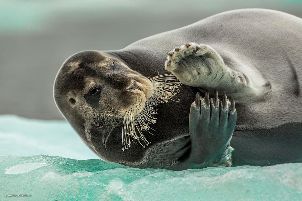 「撩人的髯海豹(Bearded Seal)」 (攝影: Audun Rikardsen)