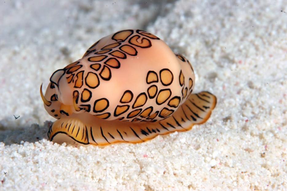 火鶴舌蝸牛(Flamingo Tongue Snail)